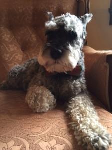 Meet Sam Elliott, editor Amy Cherrix's puppy!