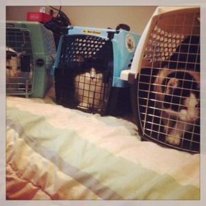L-R: Charlotte, Beethoven and Oreo are NOT thrilled with their visit to the vet!